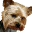Yorkshire_Terrier_for_pop_up.png