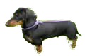 Dachshund_Min._Smooth_for_pop_up.png