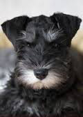 Min._Schnauzer_for_pop_up.jpg