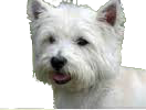 West_Highland_Terrier_edited-1.png
