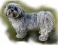 Lhasa_Apso_for_pop_up_edited-1.jpg