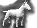 Bull_Terrier_for_pop_up.jpg
