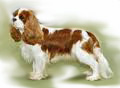 Cavalier_King_Charles_for_pop_up3.jpg