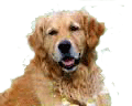 Golden-Retriever-for-pop-up.png